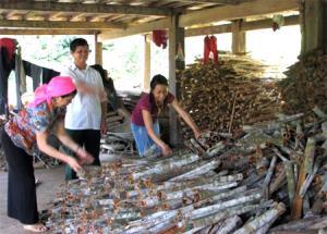 Nguyên Bí thư Đảng ủy xã Phong Dụ Thượng Siều Ngọc Tân người tiên phong trong phong trào trồng quế ở xã Phong Dụ Thượng. (Ảnh: T.)