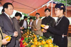Giống cam sành đặc sản huyện Lục Yên đã được trao Giấy chứng nhận đăng ký nhãn hiệu tập thể (Cam Lục Yên). (Ảnh: T.L)