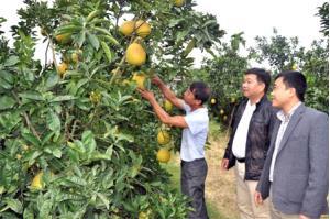 Trồng cây ăn quả có múi đang là hướng đi cho hiệu quả kinh tế cao ở nhiều địa phương trong tỉnh.