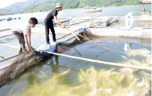 Mô hình nuôi cá lồng trên hồ Thác Bà tại xã Phúc Ninh mang lại hiệu quả kinh tế cao.