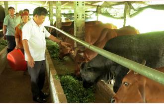Yên Bái: Nâng cao chất lượng giống vật nuôi bằng phương pháp thụ tinh nhân tạo