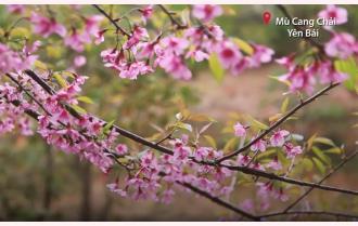 Yên Bái: Đào rừng nở rộ
