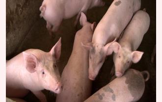 Lục Yên tập trung tổng lực ngăn dịch tả lợn châu Phi