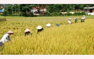 Nông dân Nghĩa Lộ được mùa lúa Xuân