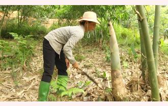 Kiên Thành nâng cao giá trị cây tre măng Bát độ