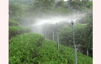 Trấn Yên: Ứng dụng hệ thống tưới phun mưa cố định cho chè Bát Tiên