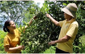 Triển vọng kinh tế từ cây mắc ca ở Văn Chấn