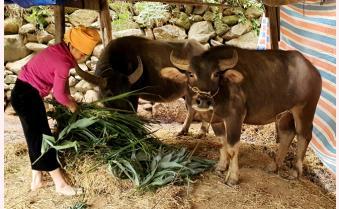 Trạm Tấu chủ động phòng, chống đói rét cho đàn gia súc