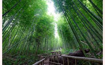 [VDEO] Mù Cang Chải: Ngẩn ngơ rừng trúc đẹp như trong phim cổ trang