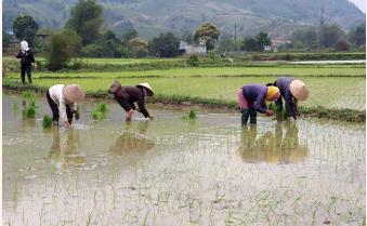 Văn Chấn gieo cấy được trên 2.400 ha lúa xuân