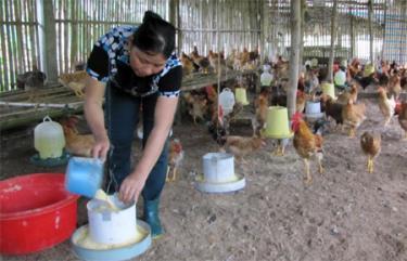 Sau khi học nghề, chị Phạm Thị Nước ở xã Mai Sơn đã phát triển chăn nuôi gà, có thu nhập ổn định.