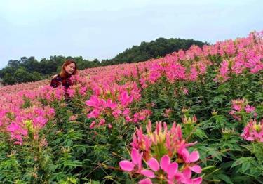 Du khách được hòa mình vào thung lũng hoa túy điệp rực rỡ sắc màu ở ven hồ Vân Hội.