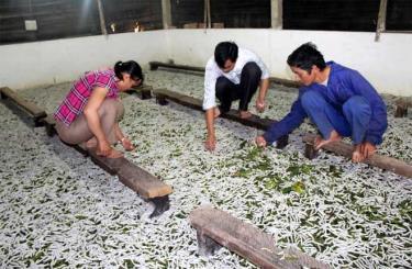 Phát triển mạnh nghề trồng dâu nuôi tằm mang lại giá trị kinh tế cao.