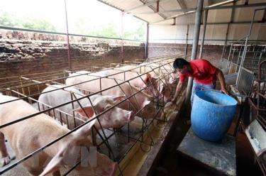 Một trang trại nuôi lợn tại huyện Văn Lâm, Hưng Yên.