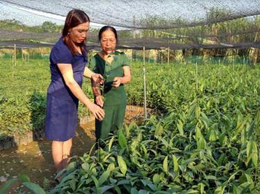 Lãnh đạo Hội Phụ nữ xã An Thịnh thăm mô hình vườn ươm quế giống của bà Nguyễn Thị Hường ở thôn Yên Thịnh, xã An Thịnh.