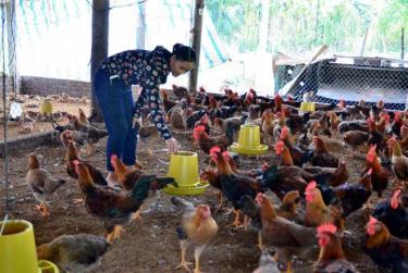 Chị Lò Thị Doan chăm sóc đàn gà.