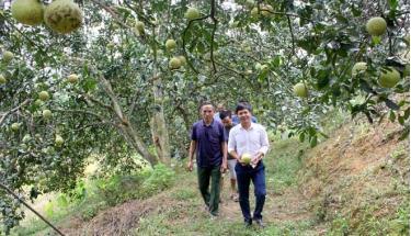 Nhiều vườn bưởi ở xã Đại Minh hàng năm cho thu nhập trên 500 triệu đồng