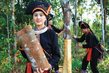 Đồng bào Dao xã Viễn Sơn, huyện Văn Yên thu hoạch quế. (Ảnh: Tư liệu)