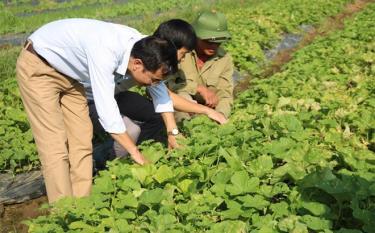 Nông dân thành phố Yên Bái trồng rau an toàn cho thu nhập ổn định khoảng 150 triệu đồng/ha.