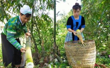 Anh Giàng A Sáu, thôn Đồng Ruộng xã Kiên Thành thu hoạch măng tre Bát độ.