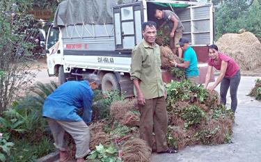 Nông dân Trấn Yên chuẩn bị cây dâu giống cho trồng mới theo kế hoạch.