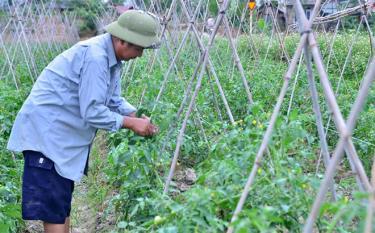 Cà chua là loại cây trồng vụ đông mang lại hiệu quả kinh tế cao.