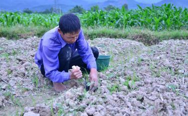 Nhân dân xã Phù Nham, thị xã Nghĩa Lộ trồng rau màu vụ đông.