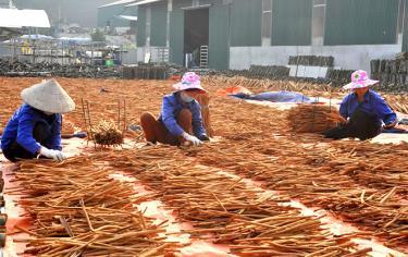 Các sản phẩm quế là mặt hàng thế mạnh kinh tế lâm nghiệp của tỉnh.