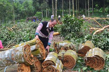Người dân xã An Lương, huyện Văn Chấn thu hoạch quế.