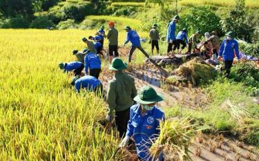 Đoàn viên thanh niên huyện Trạm Tấu giúp dân thu hoạch lúa tại xã Bản Mù.