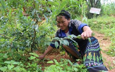 Nông dân huyện Mù Cang Chải tích cực ứng dụng tiến bộ khoa học, đưa giống cây trồng mới vào sản xuất. (Trong ảnh: Người dân chăm sóc giống mận đỏ, một trong những cây trồng mới ở địa phương).