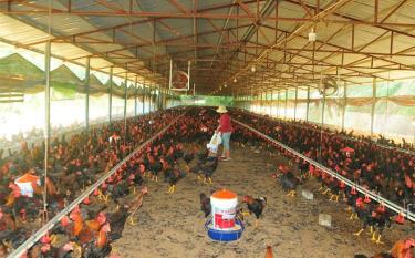 Người dân Yên Bái quan tâm chăm sóc đàn gia cầm thời điểm giao mùa.