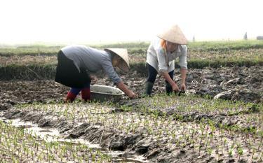 Nông dân xã Cảm Nhân chăm sóc cây ngô trên đất hai vụ lúa.