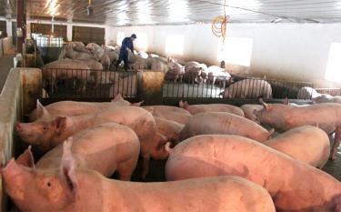 Đầu tư hệ thống chuồng trại, con giống khép kín góp phần phát triển chăn nuôi an toàn, bền vững.