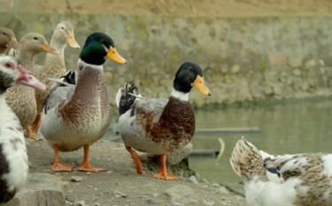 Lam Thuong duck