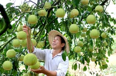 Dai Minh commune of Yen Binh district is home to more than 270ha of orchards, raking in about 50 billion VND (2.16 million USD) per year.