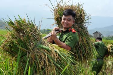 Đoàn viên thanh niên Công an huyện Trấn Yên giúp dân gặt lúa tại xã Hồng Ca