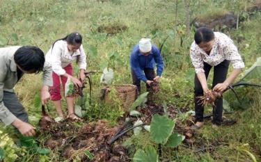 Hội viên Hội Nông dân huyện Lục Yên thu hoạch khoai tím đưa ra thị trường tiêu thụ.