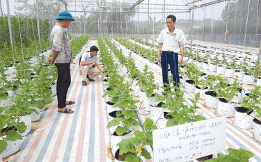 Trồng rau, quả trong nhà lưới đang được phát triển tại nhiều địa phương trong tỉnh.