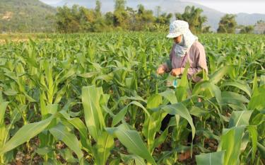 Maize remains a staple in the 2021 winter crop