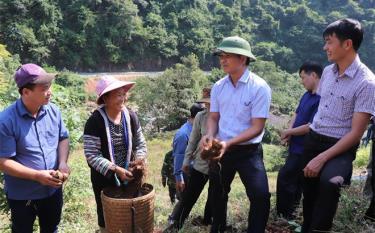 Lãnh đạo Sở Nông nghiệp và Phát triển nông thôn kiểm tra, đánh giá mô hình trồng giống khoai sọ nương Trạm Tấu tại xã Hồ Bốn, huyện Mù Cang Chải.