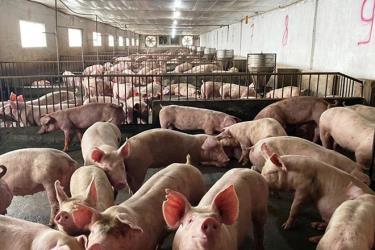 Ngày 22.10, giá lợn hơi đã tăng thêm 2.000-5.000 đồng/kg.