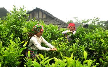 Nhờ phát triển cây chè Shan tuyết, người Mông xã Suối Giàng, huyện Văn Chấn có nguồn thu nhập ổn định đời sống.