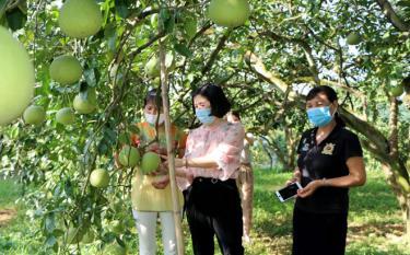 Nhiều phụ nữ ở xã Đại Minh, huyện Yên Bình chú trọng phát triển kinh tế bằng cây bưởi. (Ảnh: Thanh Chi)