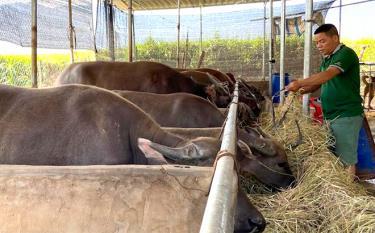 Anh Hoàng Văn Xuân chăm sóc đàn trâu của gia đình.