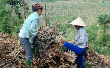 People in Dong Quan commune collect cinnamon leaves to make essential oil.