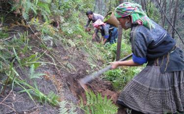 Mong people in Mu Cang Chai district plant and take care of forests.