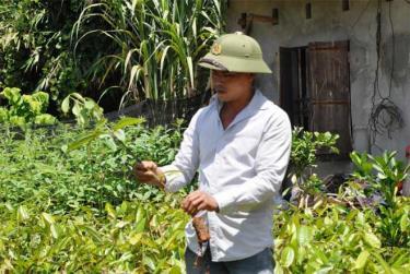 Anh Trần Văn Hưởng kiểm tra chất lượng cây quế giống.