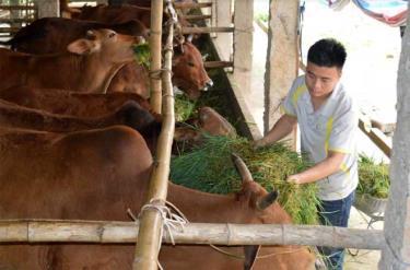 Mô hình chăn nuôi bò bán chăn thả của gia đình anh Nguyễn Văn Được, xã Đông Cuông cho hiệu quả kinh tế cao.