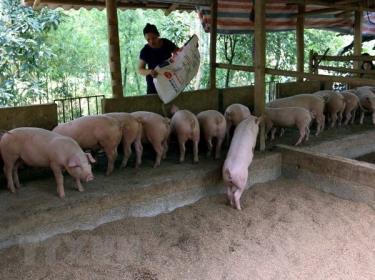 Nông dân xã Yên Phú chăm sóc lợn.